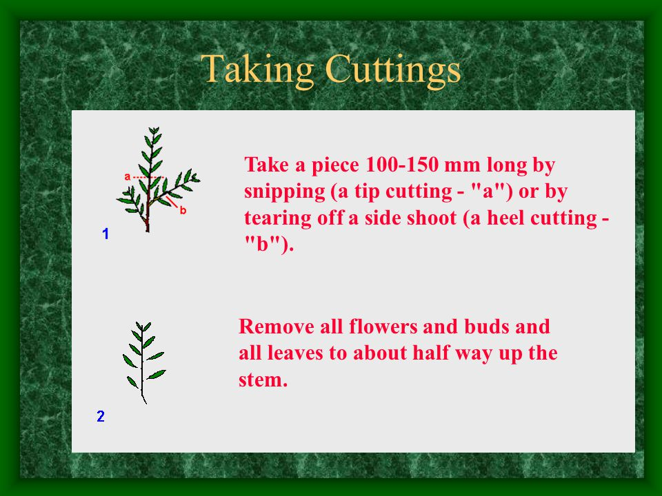 Taking Cuttings Take a piece 100-150 mm long by snipping (a tip cutting - a ) or by tearing off a side shoot (a heel cutting - b ).