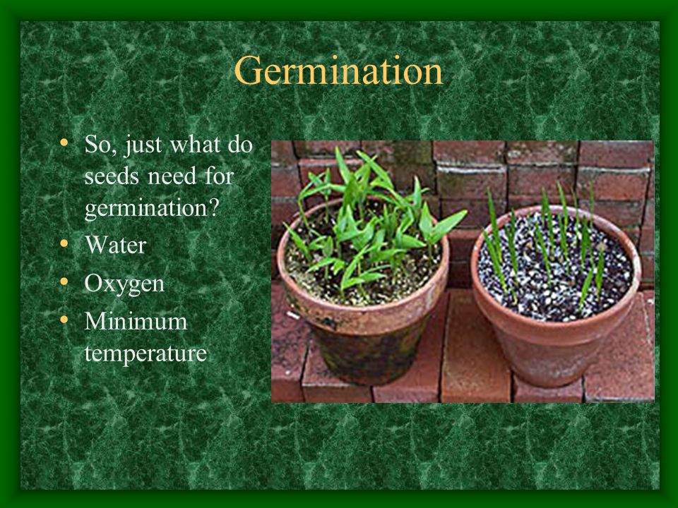 Germination So, just what do seeds need for germination Water Oxygen Minimum temperature