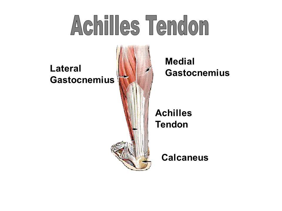 Lateral Gastocnemius Medial Gastocnemius Achilles Tendon Calcaneus