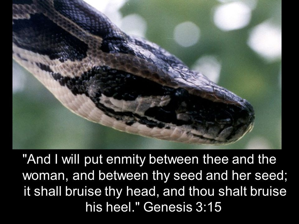 And I will put enmity between thee and the woman, and between thy seed and her seed; it shall bruise thy head, and thou shalt bruise his heel. Genesis 3:15