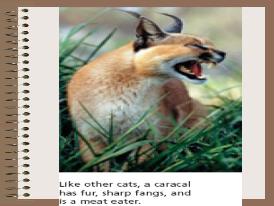 Using Classification Classification system can help identify unfamiliar organisms. A caracal may be unfamiliar, but if its was a cat, you know it has: