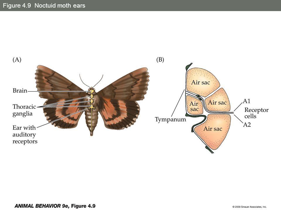 Figure 4.9 Noctuid moth ears