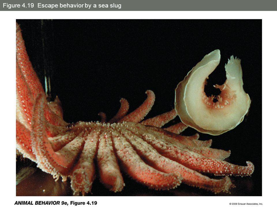 Figure 4.19 Escape behavior by a sea slug