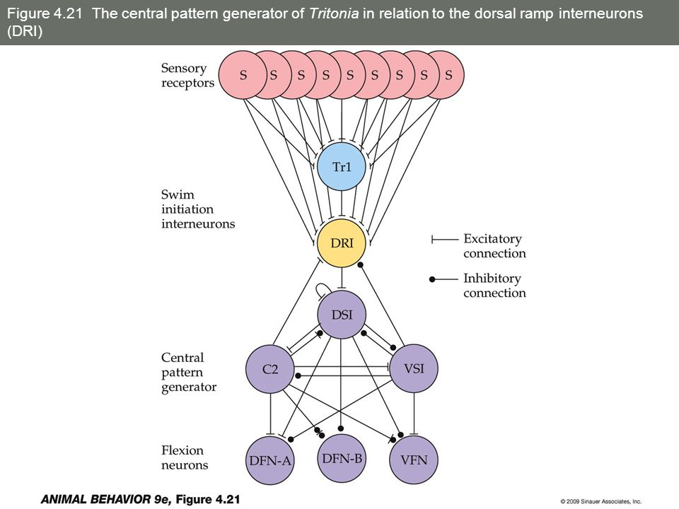 Figure 4.21 The central pattern generator of Tritonia in relation to the dorsal ramp interneurons (DRI)
