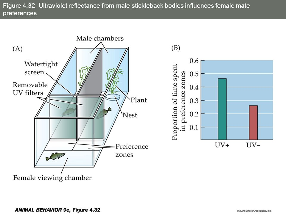 Figure 4.32 Ultraviolet reflectance from male stickleback bodies influences female mate preferences