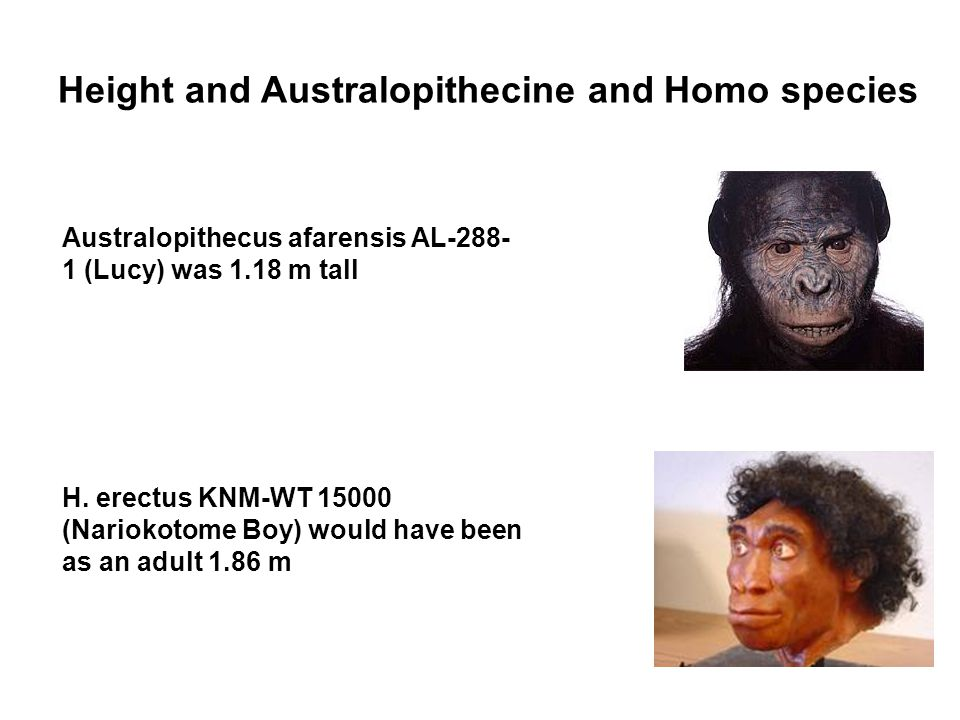 Height and Australopithecine and Homo species Australopithecus afarensis AL-288- 1 (Lucy) was 1.18 m tall H.