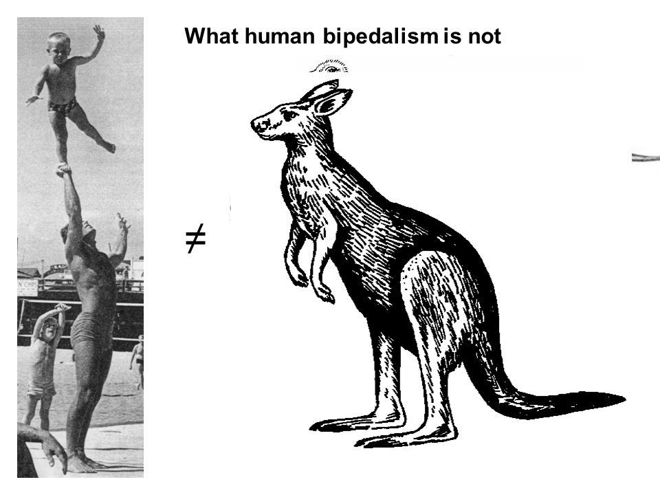 ≠ What human bipedalism is not