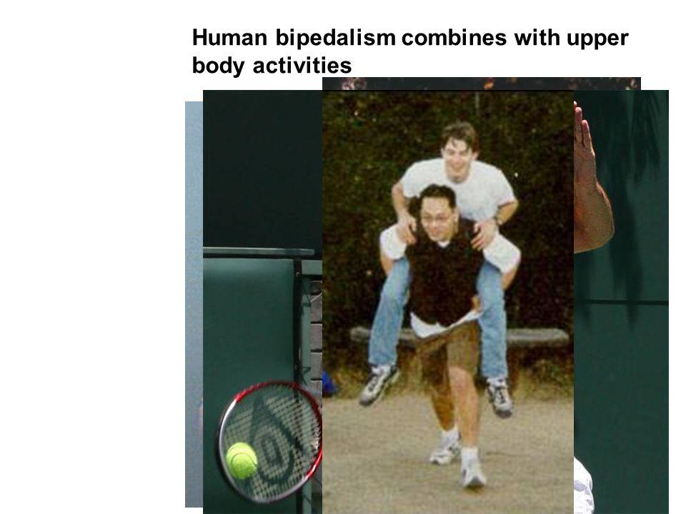 Human bipedalism combines with upper body activities