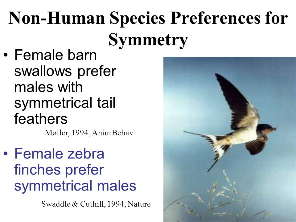 Non-Human Species Preferences for Symmetry Female barn swallows prefer males with symmetrical tail feathers Female zebra finches prefer symmetrical ma