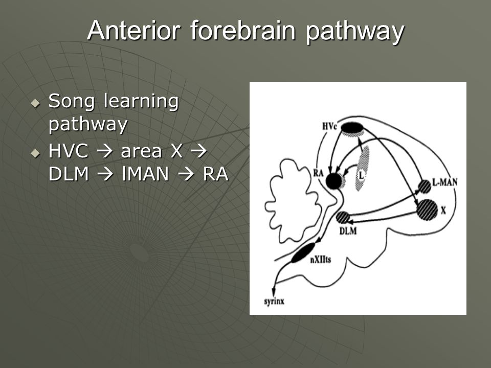 Anterior forebrain pathway  Song learning pathway  HVC  area X  DLM  lMAN  RA