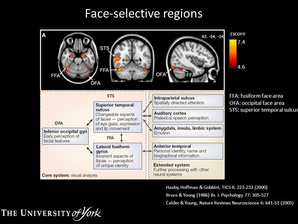 Face-selective regions FFA: fusiform face area OFA: occipital face area STS: superior temporal sulcus 7.4 4.6 zscore OFA STS FFA Haxby, Hoffman & Gobb