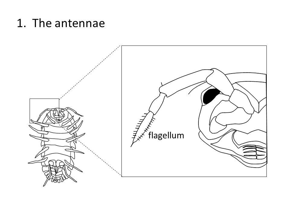 1. The antennae flagellum