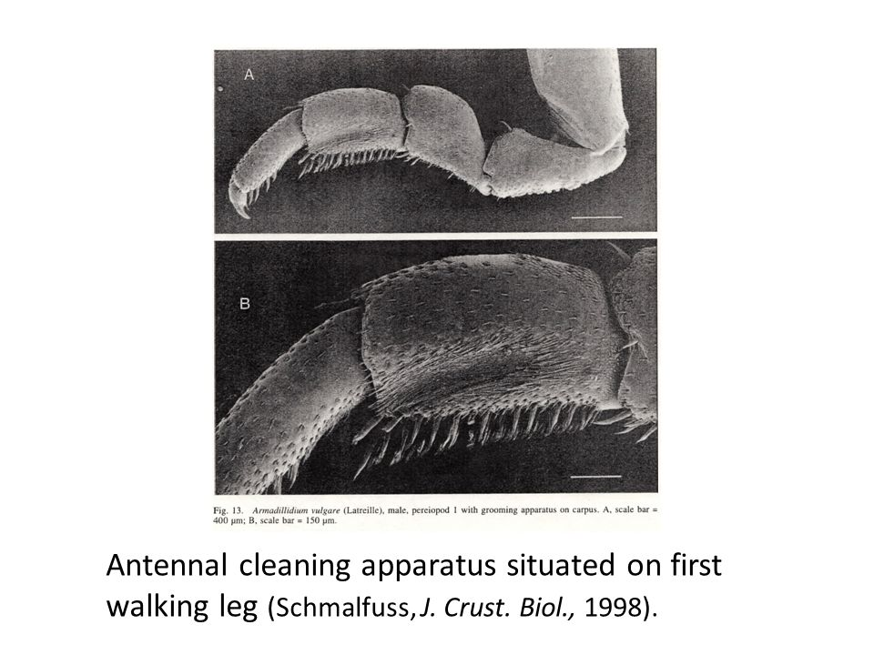 Antennal cleaning apparatus situated on first walking leg (Schmalfuss, J. Crust. Biol., 1998).