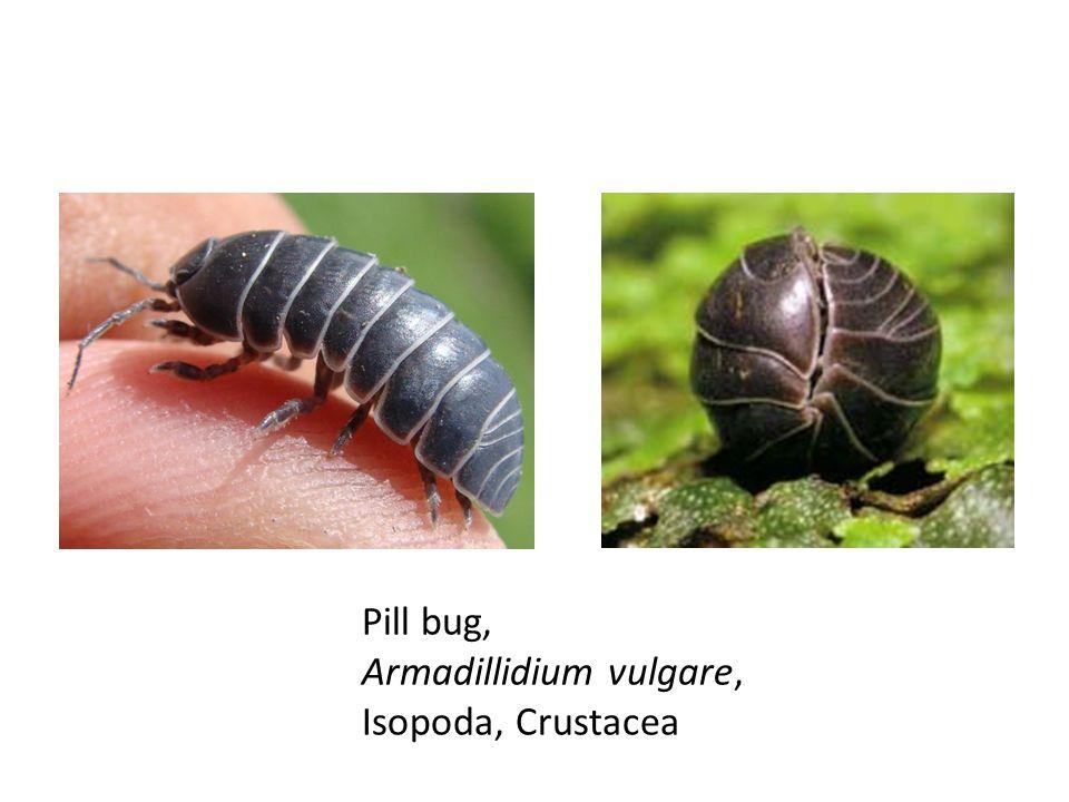 Pill bug, Armadillidium vulgare, Isopoda, Crustacea