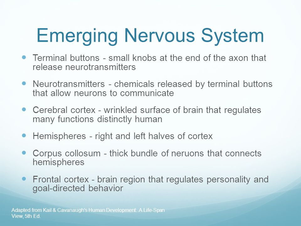 Emerging Nervous System Terminal buttons - small knobs at the end of the axon that release neurotransmitters Neurotransmitters - chemicals released by terminal buttons that allow neurons to communicate Cerebral cortex - wrinkled surface of brain that regulates many functions distinctly human Hemispheres - right and left halves of cortex Corpus collosum - thick bundle of neruons that connects hemispheres Frontal cortex - brain region that regulates personality and goal-directed behavior Adapted from Kail & Cavanaugh's Human Development: A Life-Span View, 5th Ed.