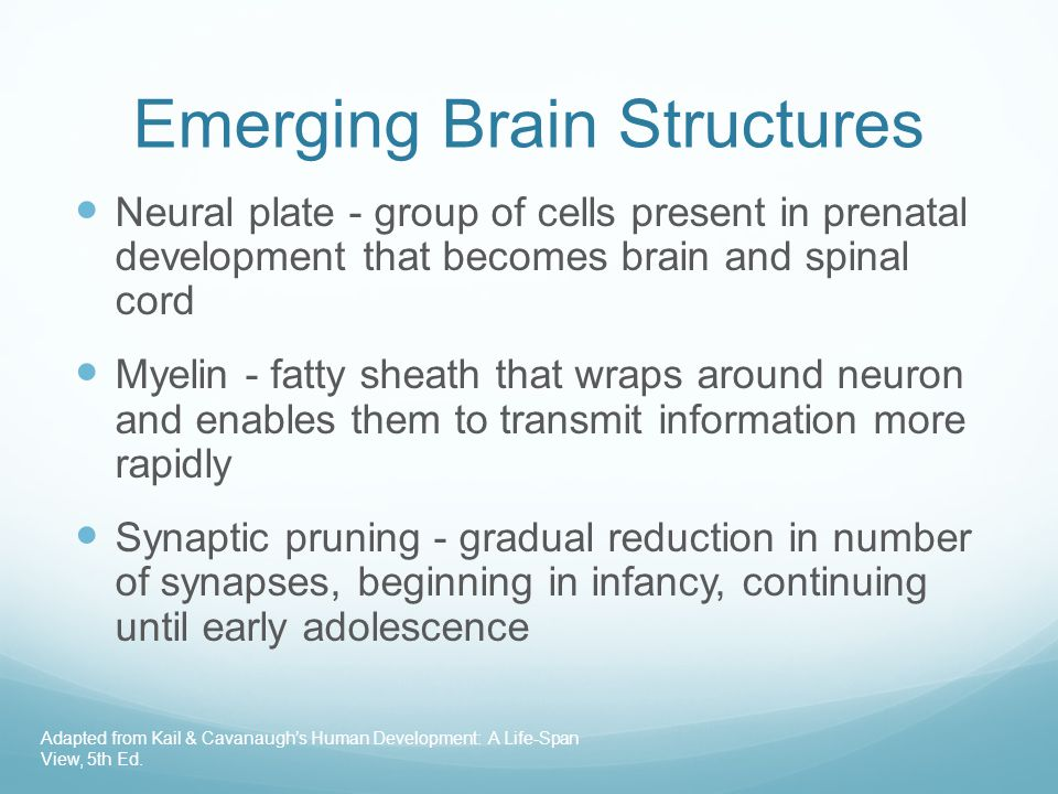 Emerging Brain Structures Neural plate - group of cells present in prenatal development that becomes brain and spinal cord Myelin - fatty sheath that wraps around neuron and enables them to transmit information more rapidly Synaptic pruning - gradual reduction in number of synapses, beginning in infancy, continuing until early adolescence Adapted from Kail & Cavanaugh's Human Development: A Life-Span View, 5th Ed.