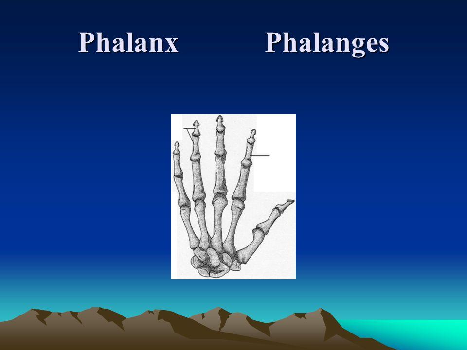 PhalanxPhalanges
