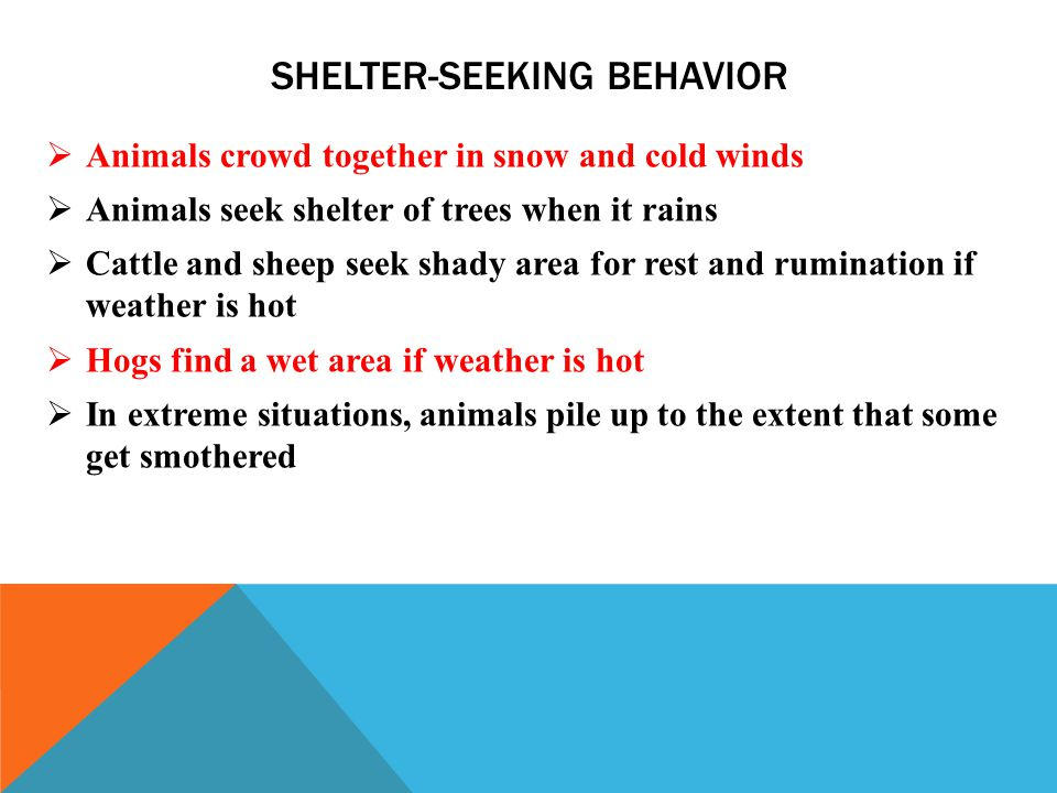 SHELTER-SEEKING BEHAVIOR  Animals crowd together in snow and cold winds  Animals seek shelter of trees when it rains  Cattle and sheep seek shady area for rest and rumination if weather is hot  Hogs find a wet area if weather is hot  In extreme situations, animals pile up to the extent that some get smothered