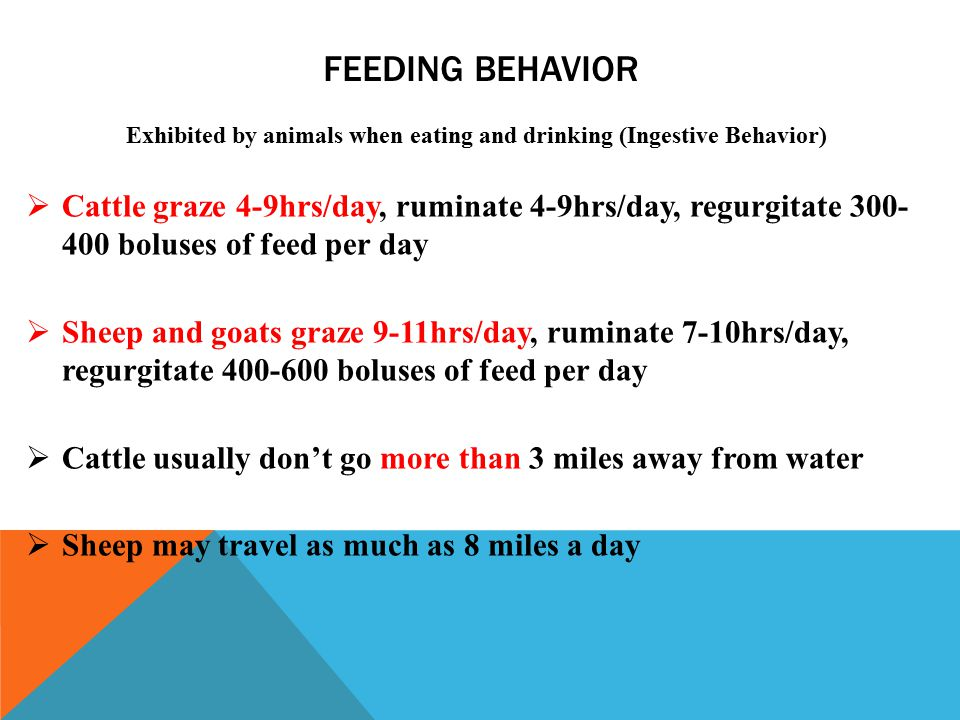 FEEDING BEHAVIOR Exhibited by animals when eating and drinking (Ingestive Behavior)  Cattle graze 4-9hrs/day, ruminate 4-9hrs/day, regurgitate 300- 400 boluses of feed per day  Sheep and goats graze 9-11hrs/day, ruminate 7-10hrs/day, regurgitate 400-600 boluses of feed per day  Cattle usually don't go more than 3 miles away from water  Sheep may travel as much as 8 miles a day