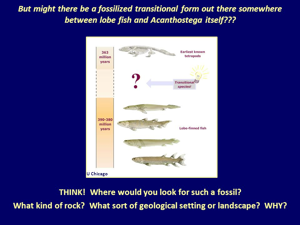 But might there be a fossilized transitional form out there somewhere between lobe fish and Acanthostega itself??? UMD U Chicago THINK! Where would yo