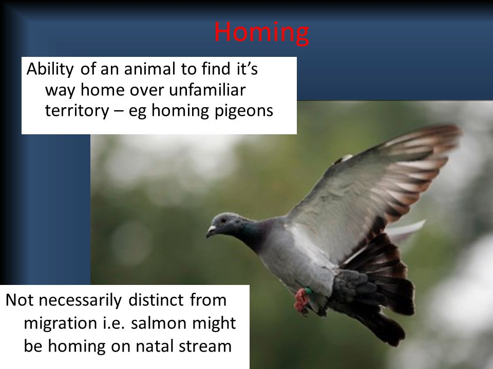 Ability of an animal to find it's way home over unfamiliar territory – eg homing pigeons Not necessarily distinct from migration i.e. salmon might be