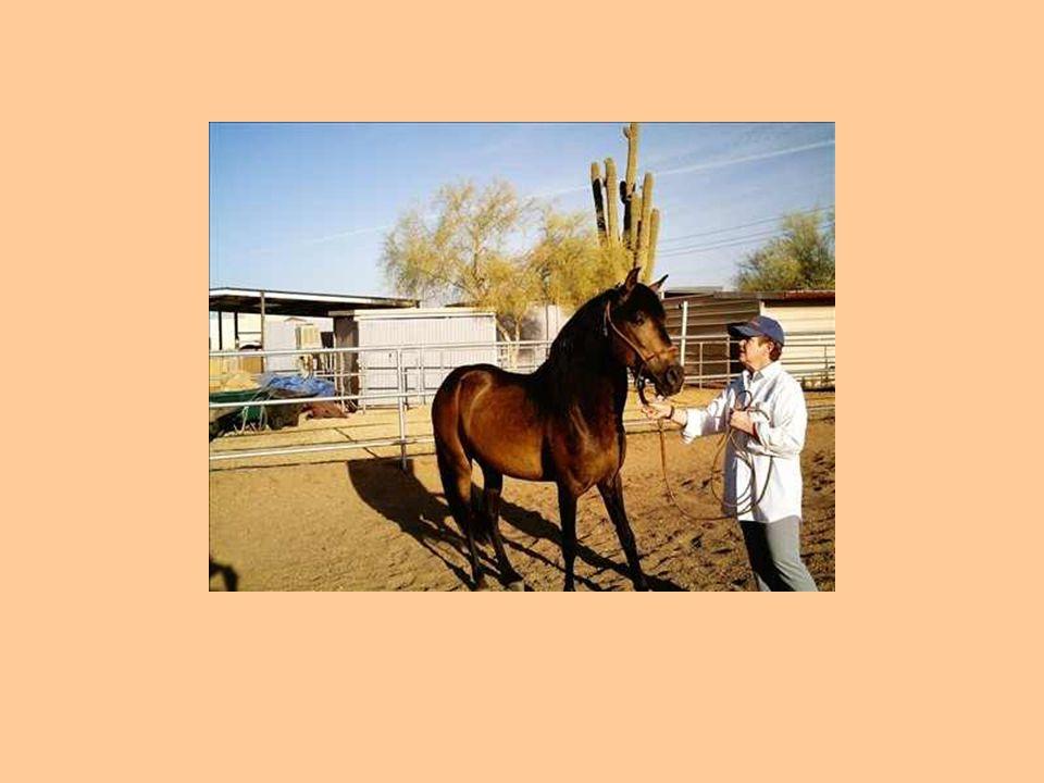 Presenting Peruvian Paso stallion D.O.R. Velocipedo (Pretty Boy and Mr.