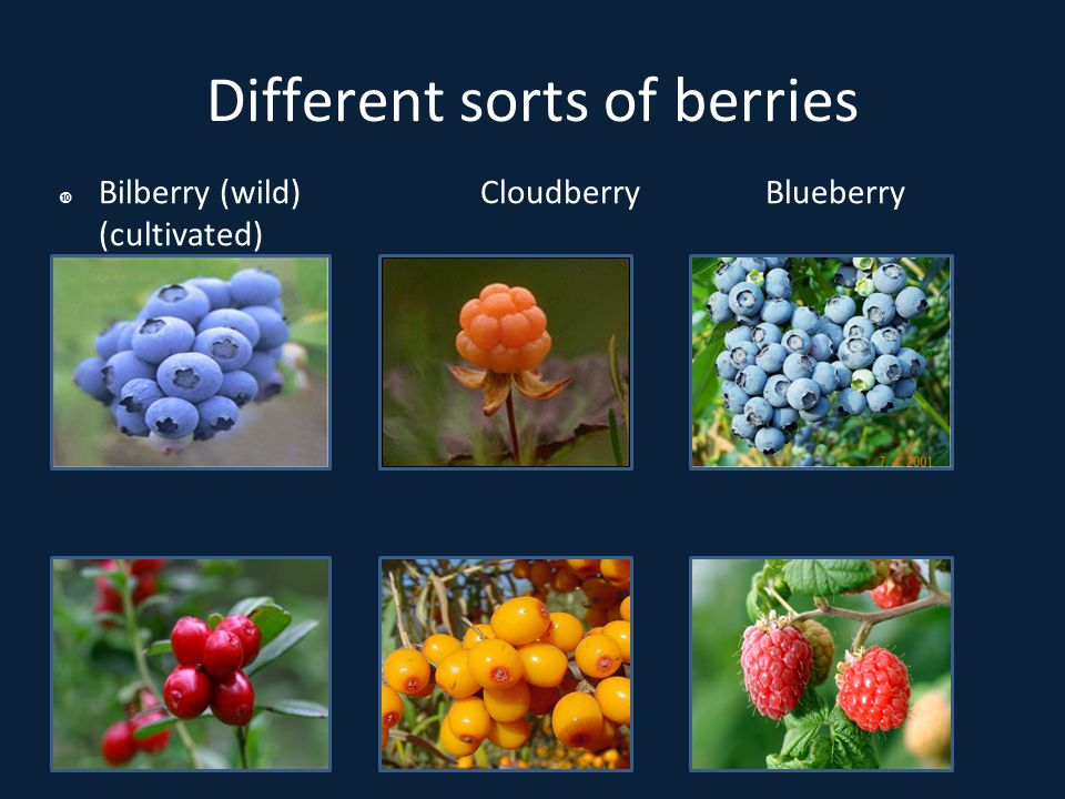 Picking the berries  Pickers from Thailand, Mongolia, Russia, Estonia, Poland, etc.