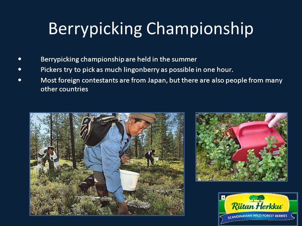 Berrypicking Championship  Berrypicking championship are held in the summer  Pickers try to pick as much lingonberry as possible in one hour.