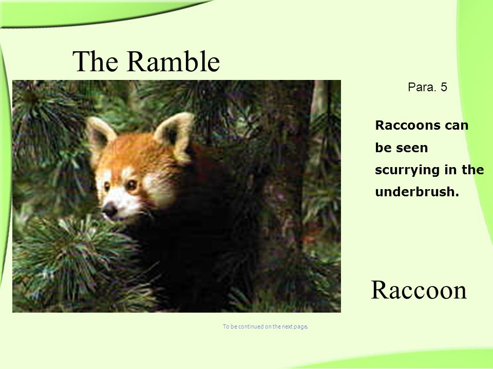 Raccoons can be seen scurrying in the underbrush. The Ramble Raccoon Para.