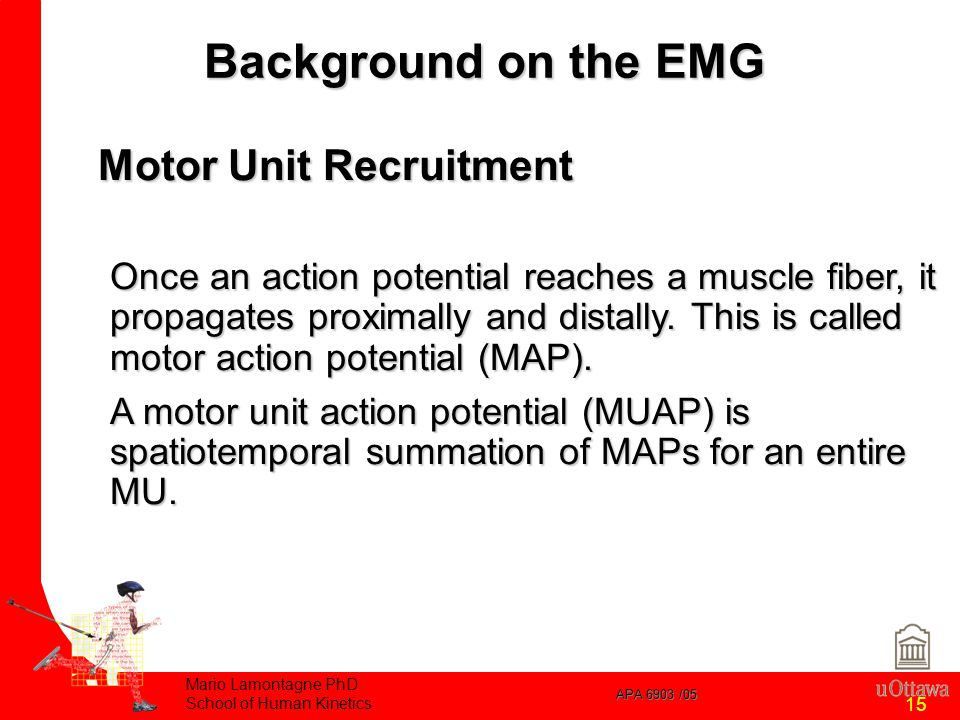 APA 6903 /05 Mario Lamontagne PhD School of Human Kinetics 15 Motor Unit Recruitment Once an action potential reaches a muscle fiber, it propagates proximally and distally.