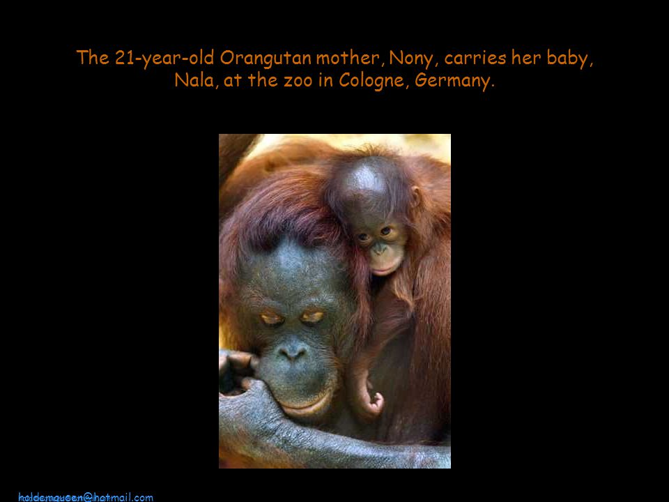 The 21-year-old Orangutan mother, Nony, carries her baby, Nala, at the zoo in Cologne, Germany.