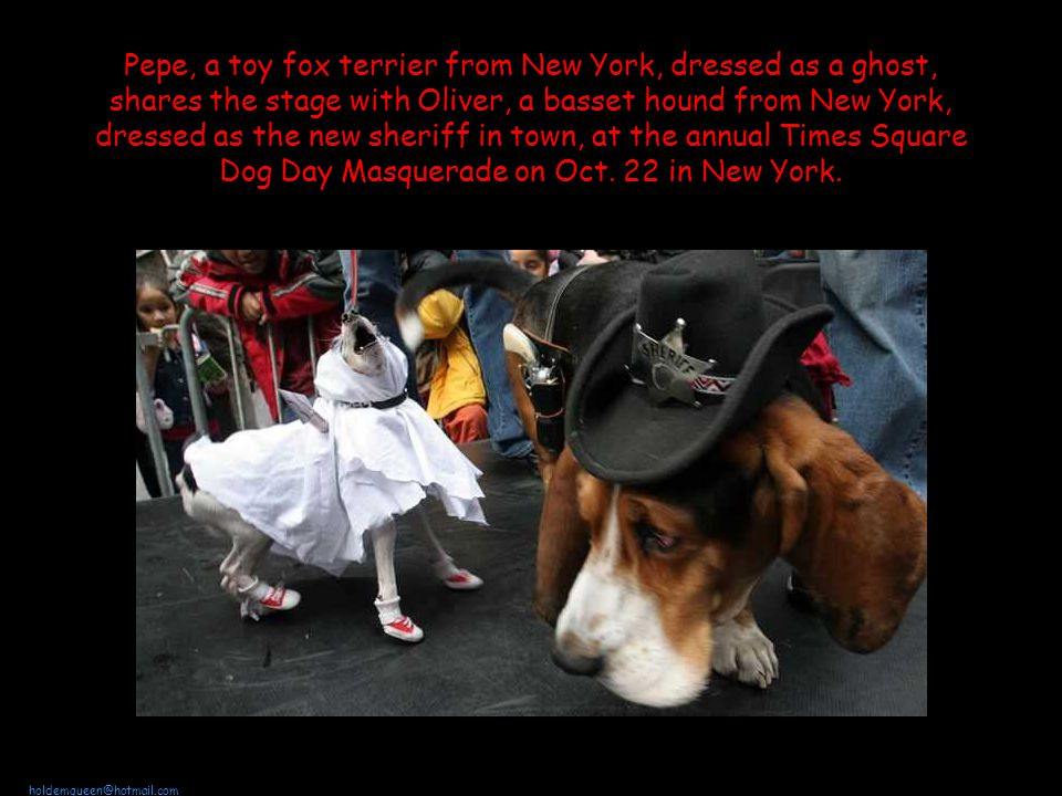 holdemqueen@hotmail.com Pepe, a toy fox terrier from New York, dressed as a ghost, shares the stage with Oliver, a basset hound from New York, dressed as the new sheriff in town, at the annual Times Square Dog Day Masquerade on Oct.