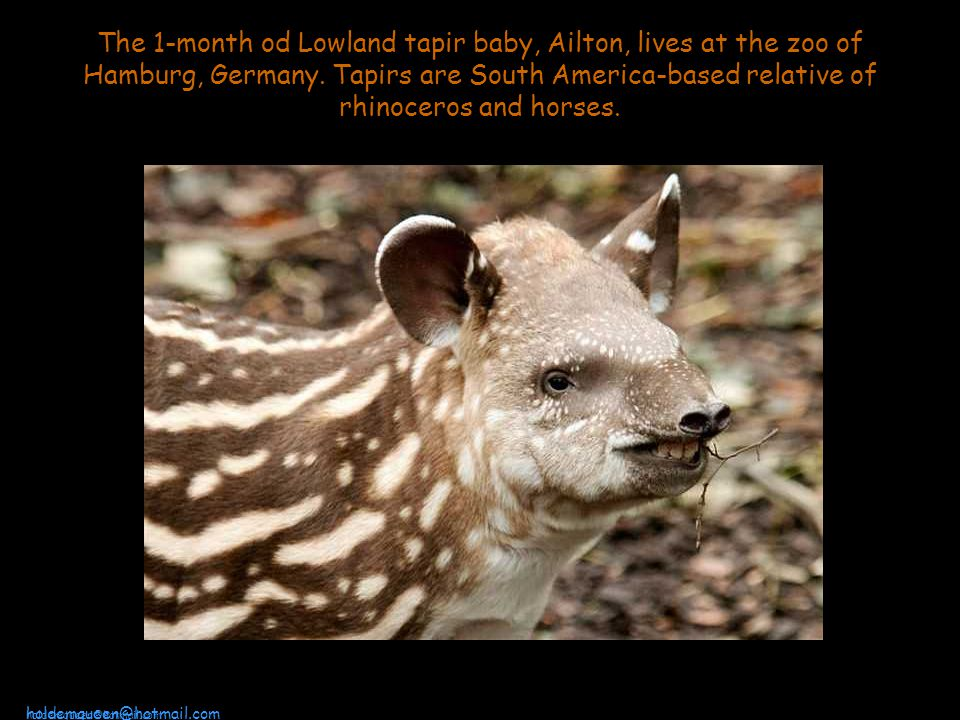 The 1-month od Lowland tapir baby, Ailton, lives at the zoo of Hamburg, Germany.