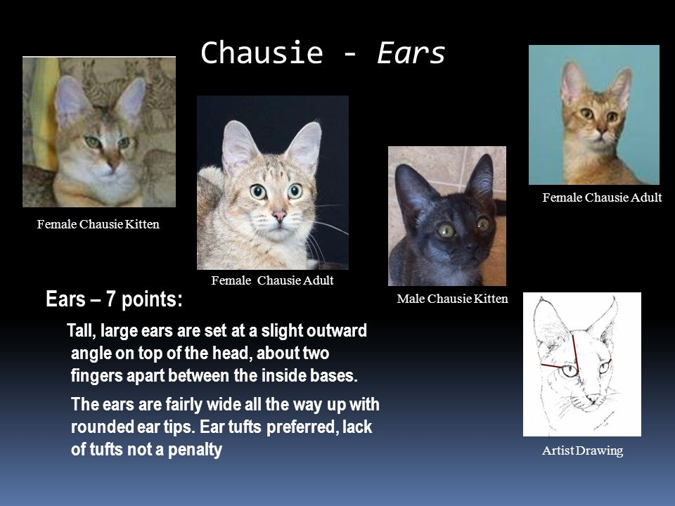 Chausie - Ears Ears – 7 points: Tall, large ears are set at a slight outward angle on top of the head, about two fingers apart between the inside bases.