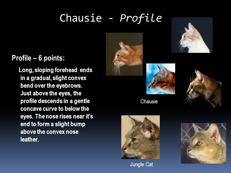 Chausie - Profile Profile – 6 points: Long, sloping forehead ends in a gradual, slight convex bend over the eyebrows.