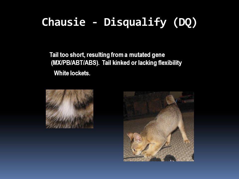 Chausie - Disqualify (DQ) Tail too short, resulting from a mutated gene (MX/PB/ABT/ABS).