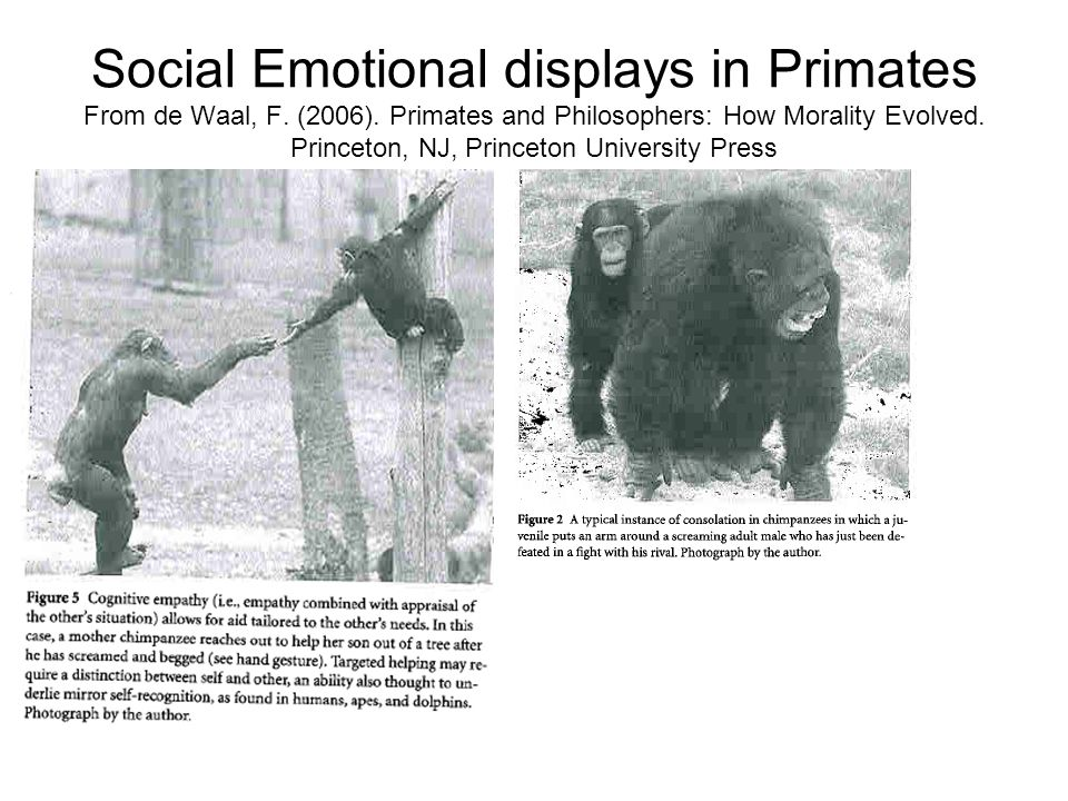 Social Emotional displays in Primates From de Waal, F. (2006). Primates and Philosophers: How Morality Evolved. Princeton, NJ, Princeton University Pr