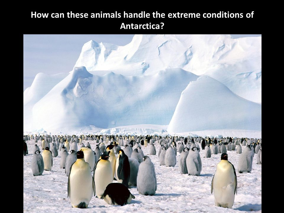 How can these animals handle the extreme conditions of Antarctica?