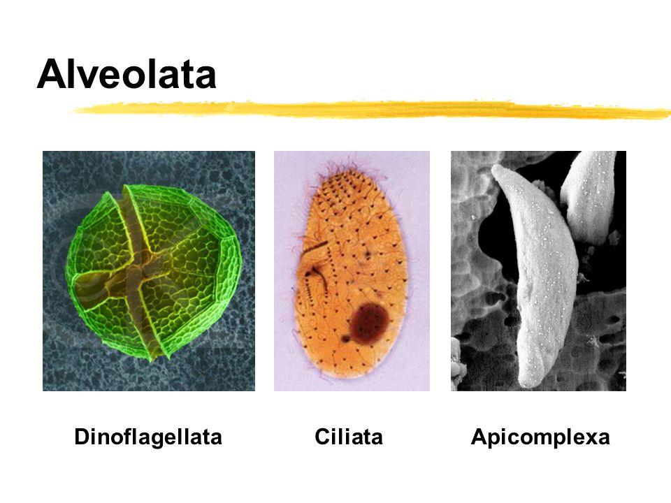 Alveolata CiliataApicomplexaDinoflagellata