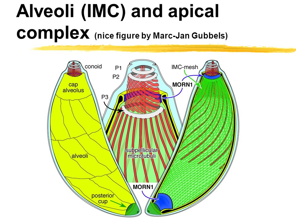 Alveoli (IMC) and apical complex (nice figure by Marc-Jan Gubbels)