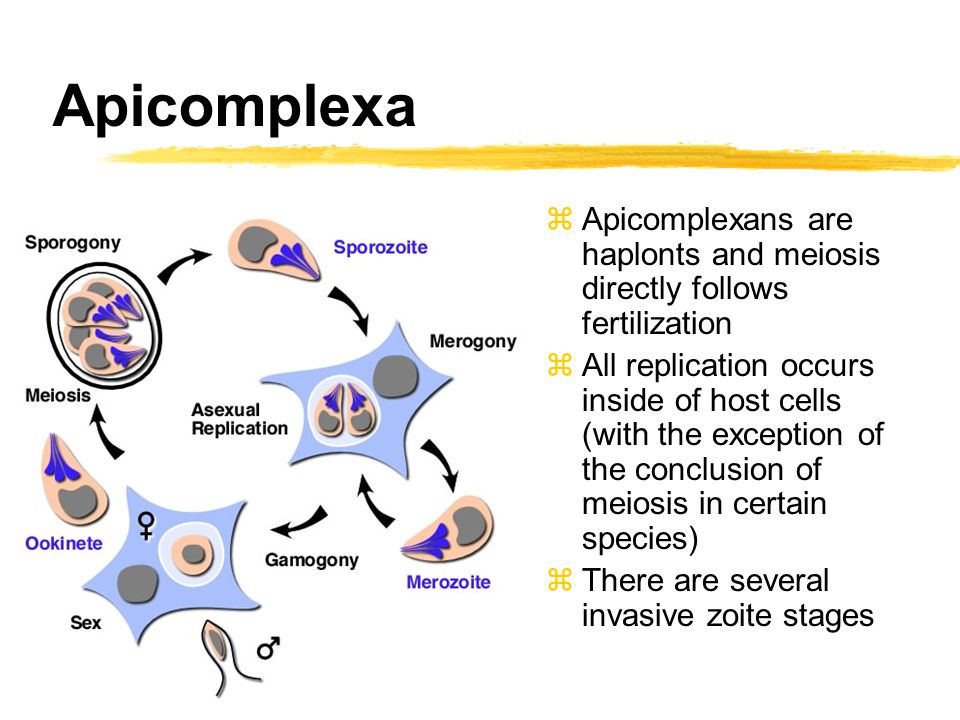 Apicomplexa zApicomplexans are haplonts and meiosis directly follows fertilization zAll replication occurs inside of host cells (with the exception of the conclusion of meiosis in certain species) zThere are several invasive zoite stages