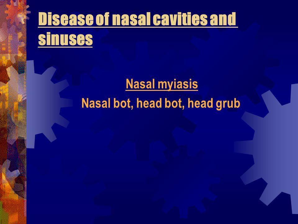 Oestrus ovis in nostrils of sheep