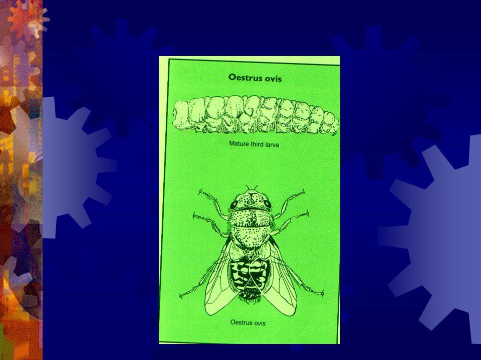 Larvae within nasal sinus