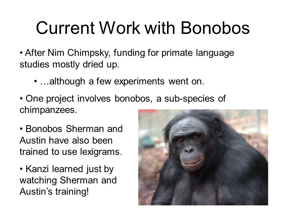 Current Work with Bonobos After Nim Chimpsky, funding for primate language studies mostly dried up. …although a few experiments went on. One project i