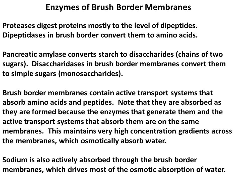 Enzymes of Brush Border Membranes Proteases digest proteins mostly to the level of dipeptides. Dipeptidases in brush border convert them to amino acid