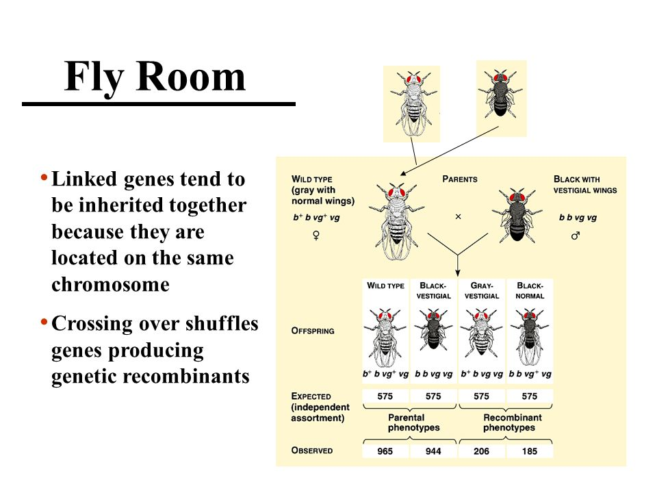 Fly Room Linked genes tend to be inherited together because they are located on the same chromosome Crossing over shuffles genes producing genetic recombinants