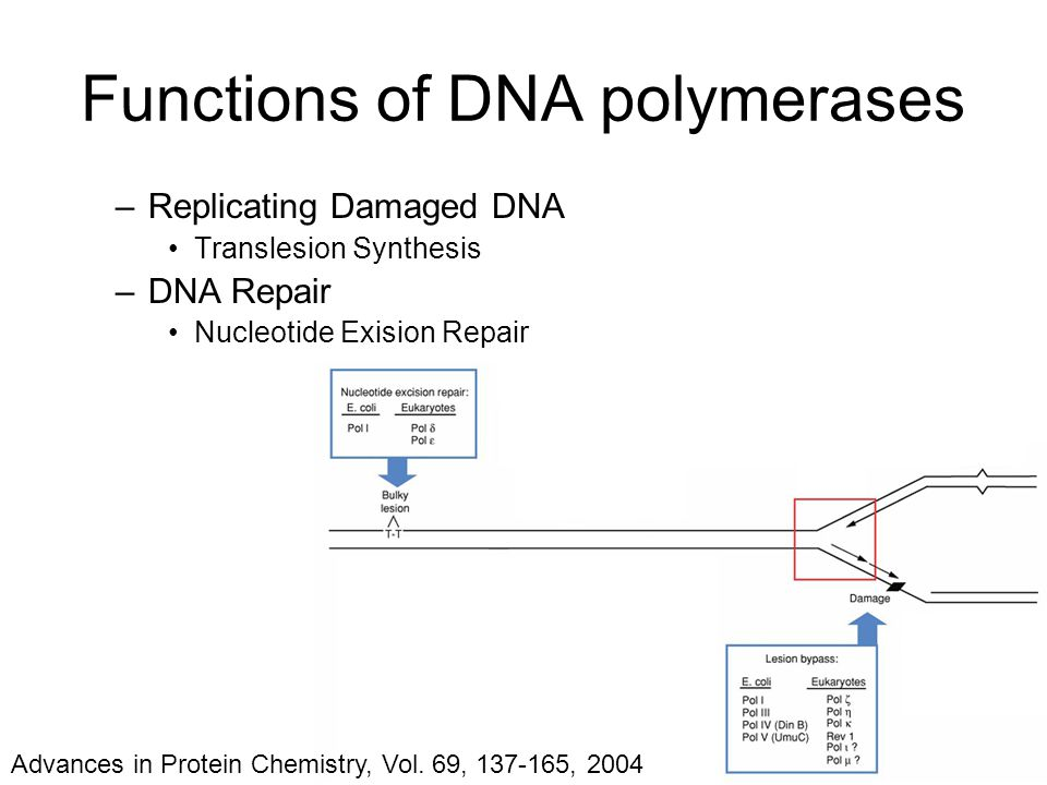 –Replicating Damaged DNA Translesion Synthesis –DNA Repair Nucleotide Exision Repair Functions of DNA polymerases Advances in Protein Chemistry, Vol.