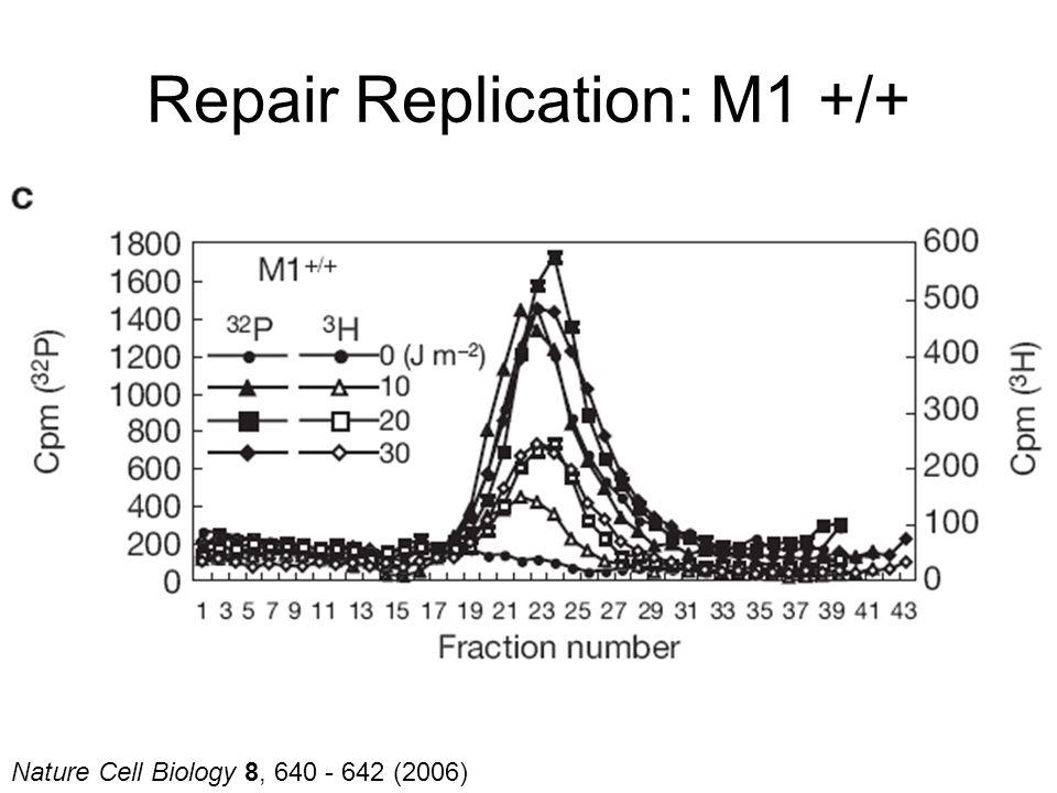 Nature Cell Biology 8, 640 - 642 (2006) Repair Replication: M1 +/+