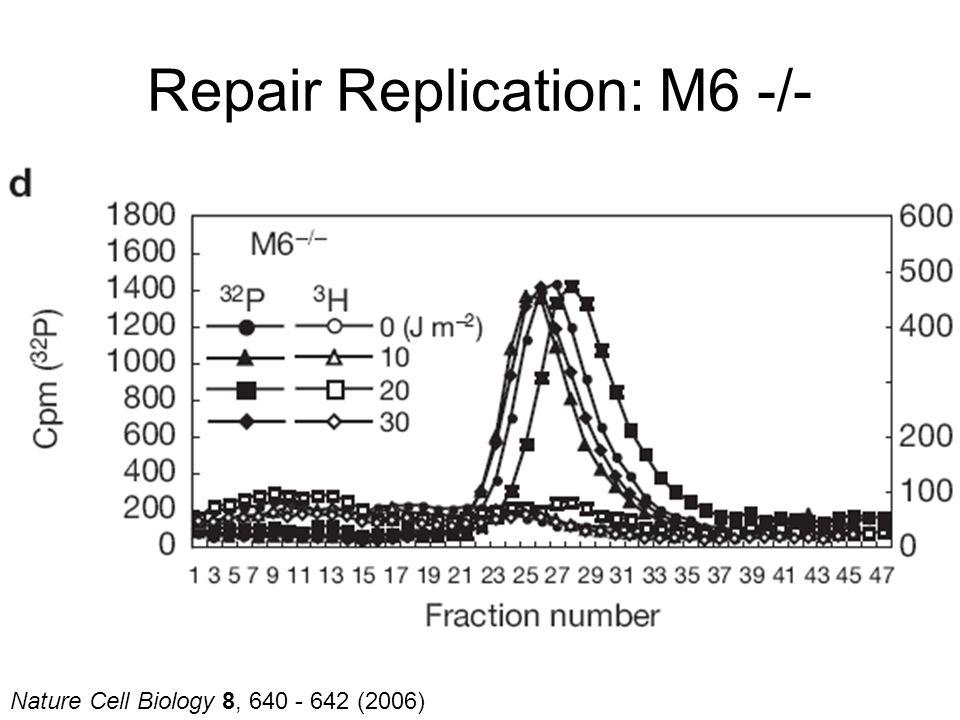 Nature Cell Biology 8, 640 - 642 (2006) Repair Replication: M6 -/-
