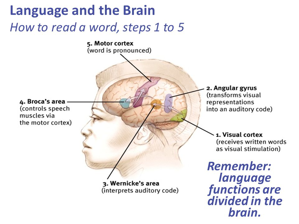 Language and the Brain How to read a word, steps 1 to 5 Remember: language functions are divided in the brain.